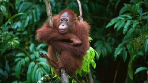 Orangutan in Kota Kinabalu